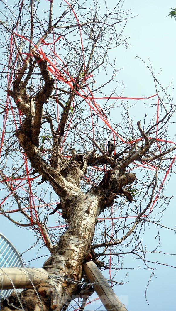 Dân buôn giới thiệu đào cổ thụ trồng ở Sơn La giá hơn 30 triệu đồng - ảnh 3