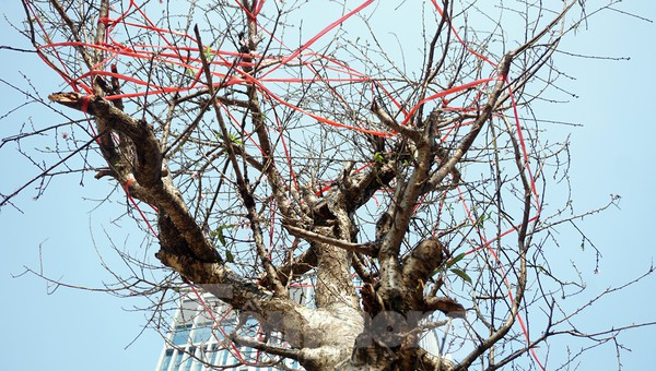 Dân buôn giới thiệu đào cổ thụ trồng ở Sơn La giá hơn 30 triệu đồng - ảnh 4