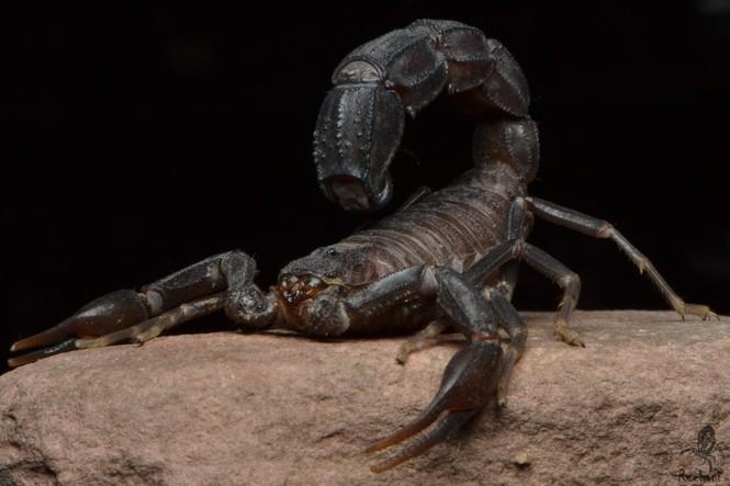 1001 thắc mắc: Loại Bọ cạp nào độc nhất hành tinh? - ảnh 4