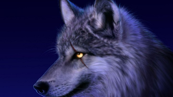 1001 thắc mắc: Tại sao chó sói - sát thủ rừng xanh hay hú vào ban đêm? - ảnh 2