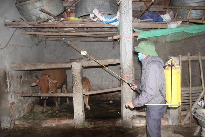 Xuất hiện dịch viêm da nổi cục trên gia súc tại Nghệ An - ảnh 2