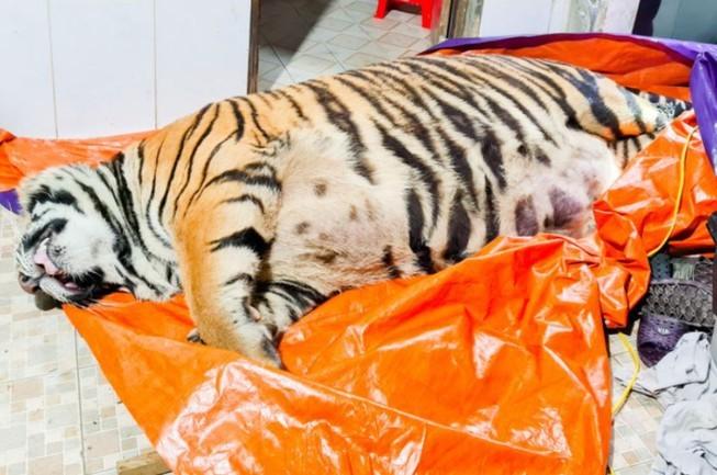Ông chủ căn nhà nơi phát hiện con hổ nặng 2,5 tạ đã ra đầu thú - ảnh 1