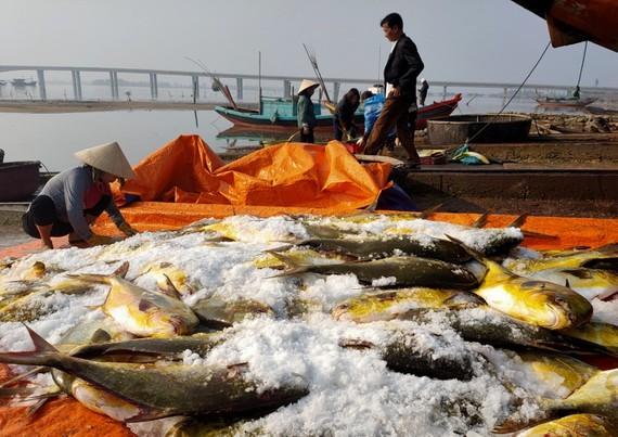 Trúng đậm mẻ cá chim vàng, ngư dân thu về khoảng 600 triệu đồng - ảnh 4