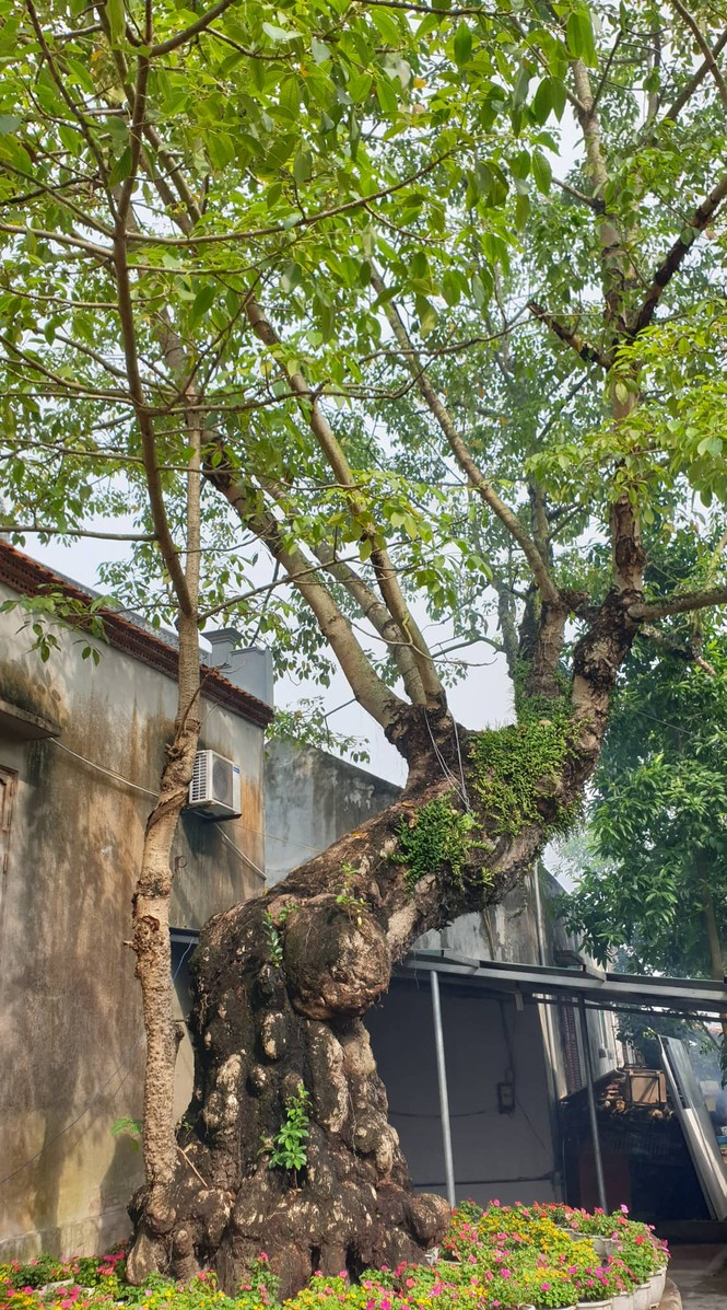 Cây thị hơn 900 tuổi ở bến Bạch Đằng Giang được công nhận cây di sản - ảnh 2