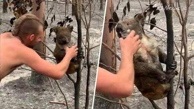 Chàng trai 22 tuổi thành anh hùng cứu 9 gấu koala trong cháy rừng ở Úc - ảnh 2