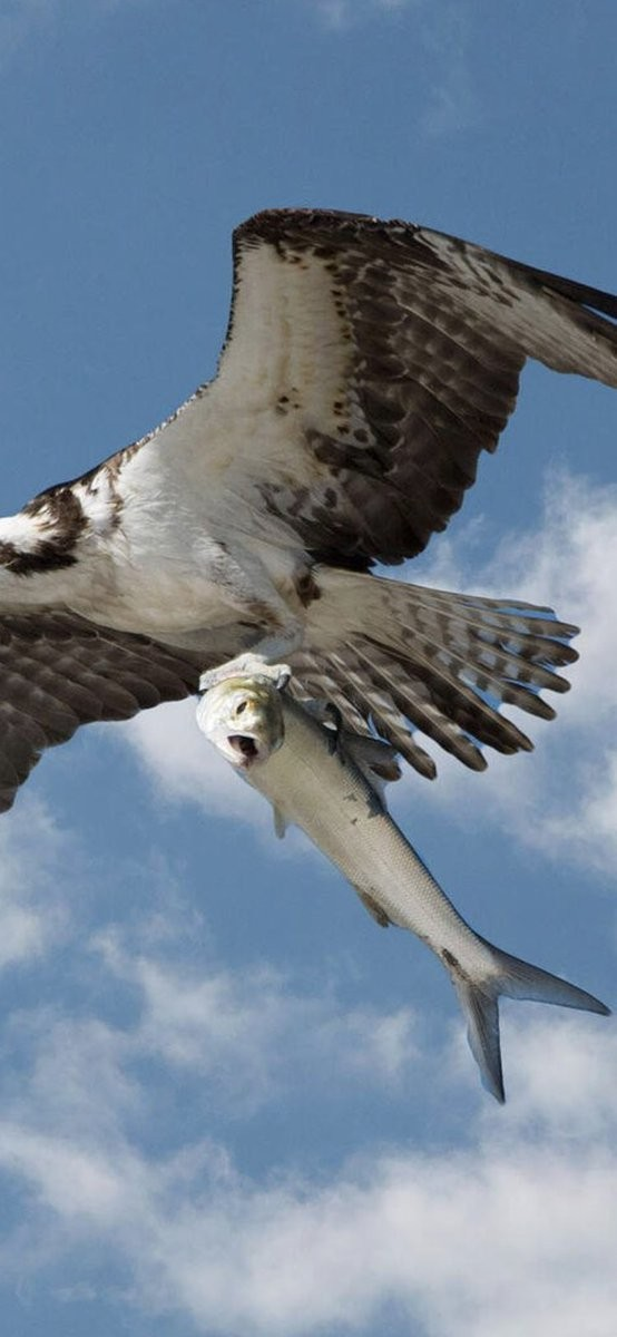 Chim khổng lồ dùng móng vuốt bắt cá lớn trên biển, bay uốn lượn thật ngoạn mục - ảnh 1