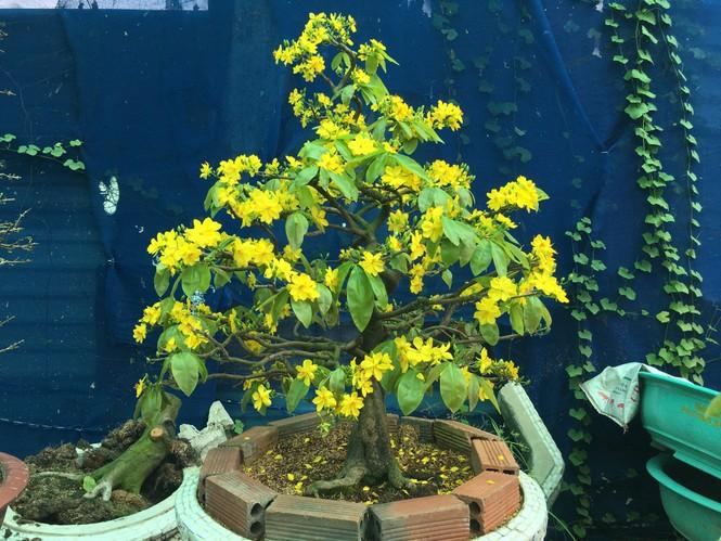 Nhà vườn TPHCM thấp thỏm vụ hoa Tết - ảnh 2