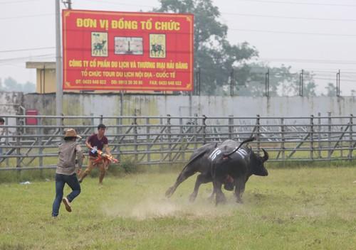 Chọi trâu vẫn diễn ra ở Hà Nội sau yêu cầu đình chỉ - ảnh 1