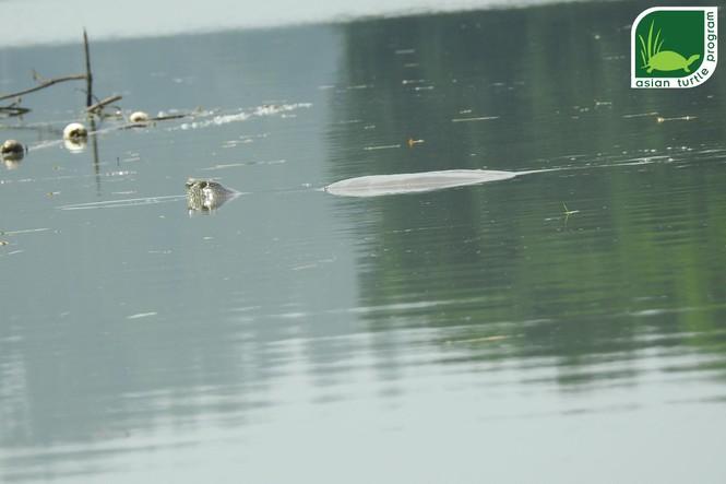 rùa hoàn kiếm ở hồ đồng mô - ảnh 1