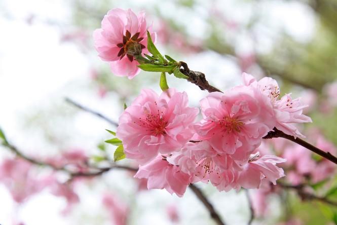 Hoa đào tượng trưng cho thuần khiết, bất tử, ngừa ung thư, tiểu đường tăng miễn dịch… - ảnh 1