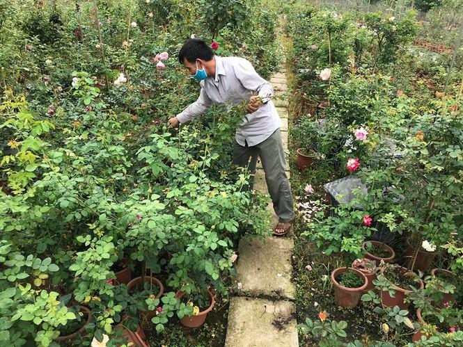 Hết hạn cách ly COVID-19, hoa hồng Hạ Lôi lại đi muôn nơi - ảnh 2