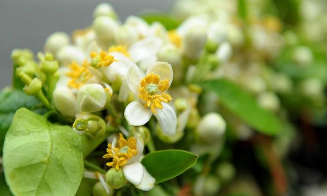 Hoa bưởi dịu dàng về trên phố ngày xuân - ảnh 7