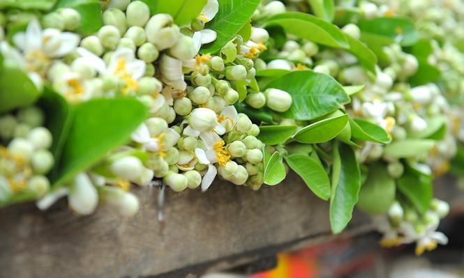 Hoa bưởi dịu dàng về trên phố ngày xuân - ảnh 6