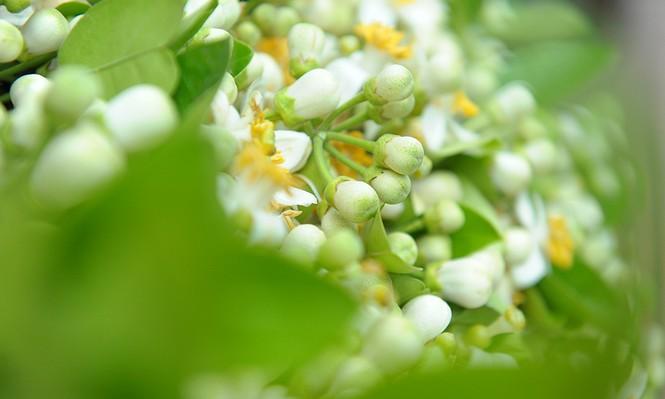 Hoa bưởi dịu dàng về trên phố ngày xuân - ảnh 5
