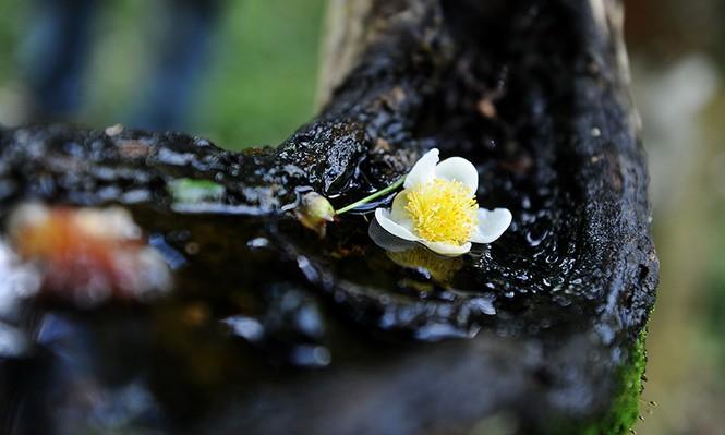 Cận cảnh cây chè tổ Suối Giàng có thân lớn trọn một vòng tay - ảnh 13