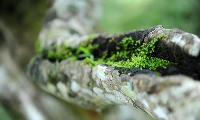 Cận cảnh cây chè tổ Suối Giàng có thân lớn trọn một vòng tay - ảnh 7