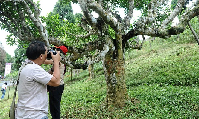 Cận cảnh cây chè tổ Suối Giàng có thân lớn trọn một vòng tay - ảnh 14
