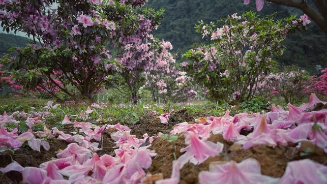 Lạc vào thiên đường hoa đỗ quyên lớn nhất Việt Nam - ảnh 3