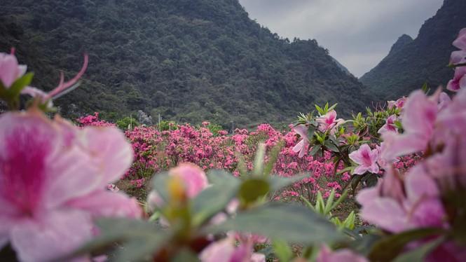 Lạc vào thiên đường hoa đỗ quyên lớn nhất Việt Nam - ảnh 7