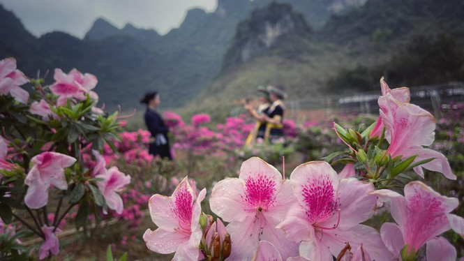 Lạc vào thiên đường hoa đỗ quyên lớn nhất Việt Nam - ảnh 5
