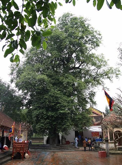 Hai cây thị khổng lồ được công nhận cây di sản - ảnh 1