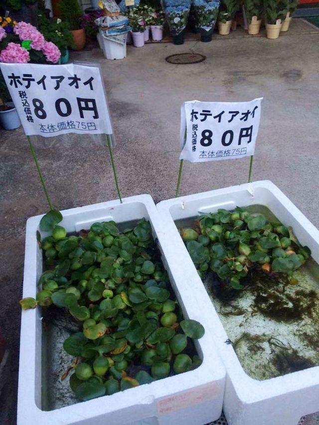 Tầm bóp, bèo tây bán giá cao ngất ngưởng ở Nhật Bản - ảnh 4