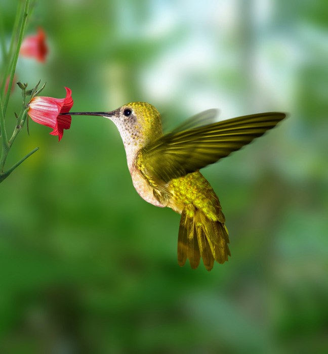1001 thắc mắc: Loài chim nào có thể bay lùi? - ảnh 1