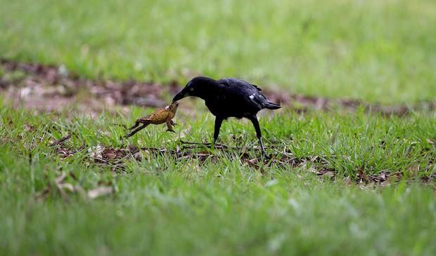 1001 thắc mắc: Quạ là loài chim thông minh nhưng thù dai nhất hành tinh?   - ảnh 1