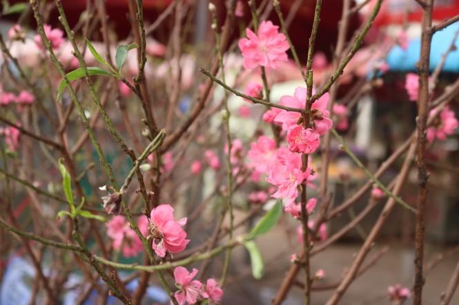 Đào Nhật Tân nở sớm, tràn ngập chợ hoa đón Tết Dương lịch  - ảnh 7