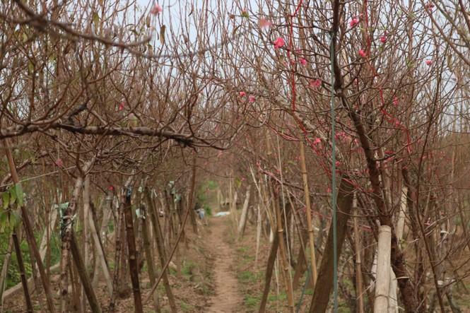 Đào Nhật Tân nở sớm, tràn ngập chợ hoa đón Tết Dương lịch  - ảnh 11