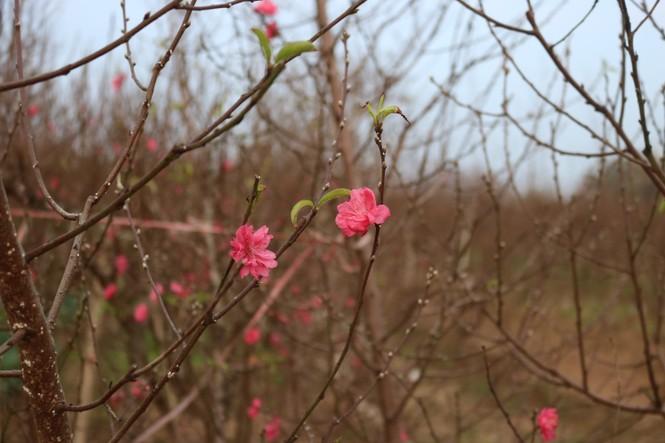 Đào Nhật Tân nở sớm, tràn ngập chợ hoa đón Tết Dương lịch  - ảnh 13