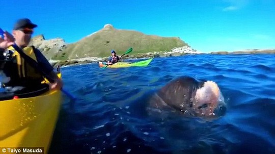 Hải cẩu tát bạch tuộc vào mặt người trên thuyền - ảnh 1
