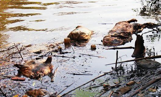 Xác hàng chục con lợn lở mồm long móng nổi lềnh bềnh ở suối Cam Ly - ảnh 1