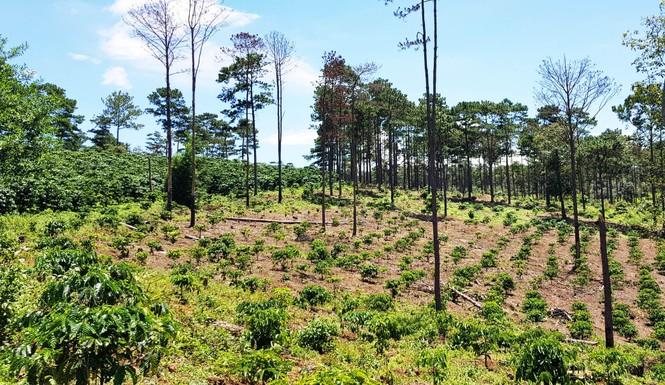 """Rừng bị phá nát sau khi 2 hộ dân """"bao thầu"""" quản lý hơn 200 ha  - ảnh 1"""