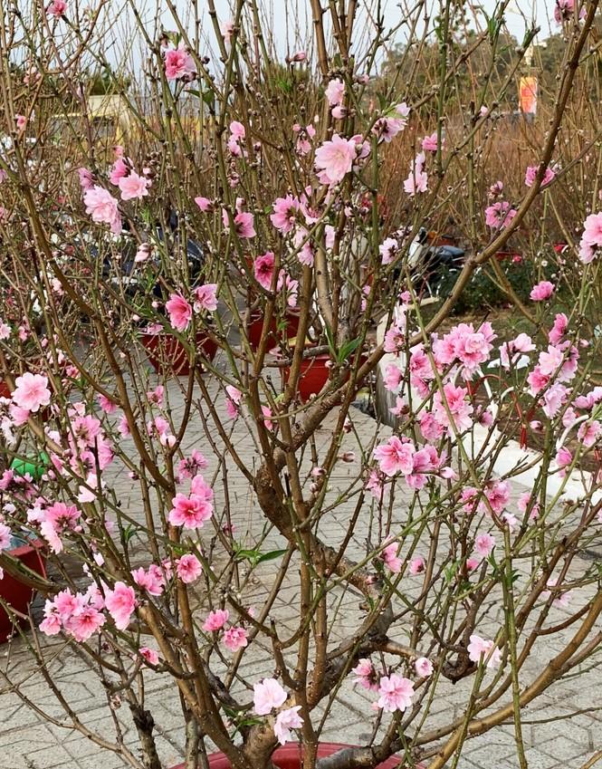 Muôn hoa khoe sắc rực rỡ tại Hội hoa xuân Đà Lạt - ảnh 5