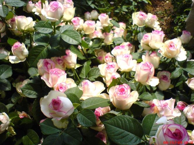 Muôn hoa khoe sắc rực rỡ tại Hội hoa xuân Đà Lạt - ảnh 7