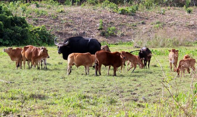 Cây gia phả 3 thế hệ bò tót lai quý hiếm ở Phước Bình - ảnh 1