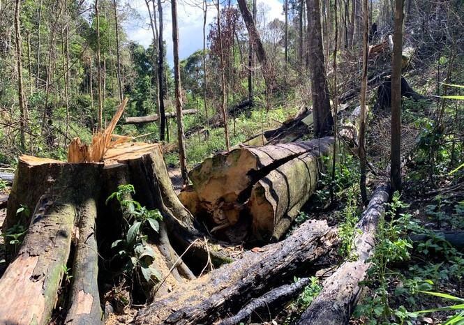 Khởi tố vụ tàn phá rừng bạch tùng cổ thụ hàng trăm năm tuổi - ảnh 1