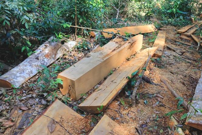 Khởi tố vụ tàn phá rừng bạch tùng cổ thụ hàng trăm năm tuổi - ảnh 3
