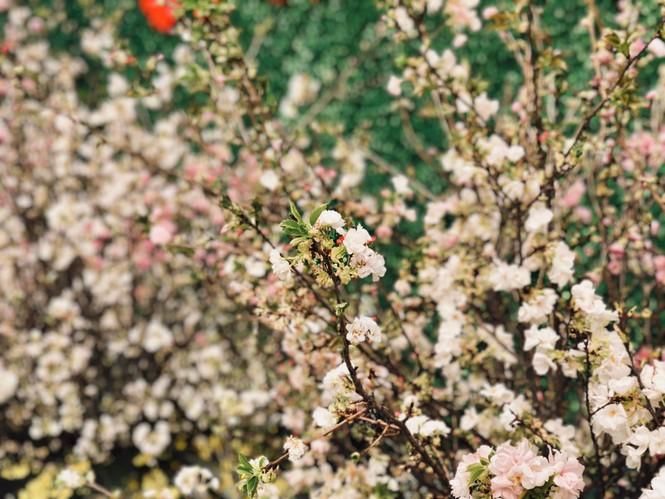 Những hình ảnh đẹp tại lễ hội hoa anh đào - ảnh 3