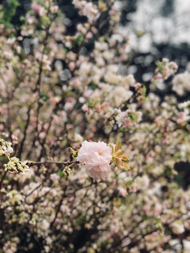 Những hình ảnh đẹp tại lễ hội hoa anh đào - ảnh 7