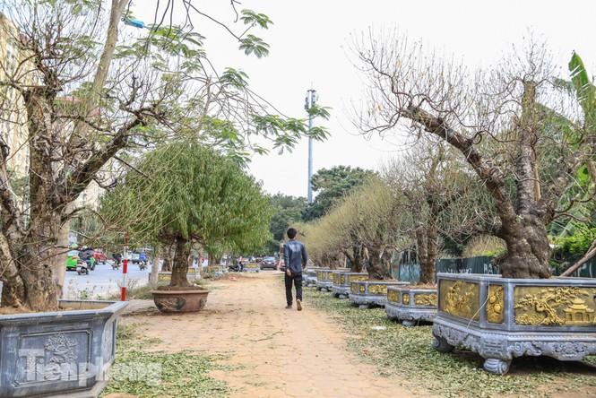Chưa đến Tết, đào thế và bưởi cảnh giá 'khủng' đã bày khắp phố Hà Nội  - ảnh 1