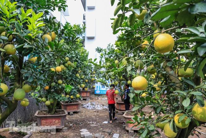Chưa đến Tết, đào thế và bưởi cảnh giá 'khủng' đã bày khắp phố Hà Nội  - ảnh 8