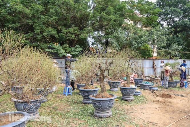 Chưa đến Tết, đào thế và bưởi cảnh giá 'khủng' đã bày khắp phố Hà Nội  - ảnh 5