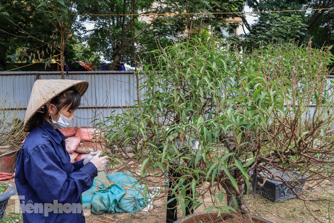 Chưa đến Tết, đào thế và bưởi cảnh giá 'khủng' đã bày khắp phố Hà Nội  - ảnh 6