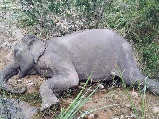 Con voi cuối cùng ở Bắc Tây Nguyên đã chết - ảnh 1