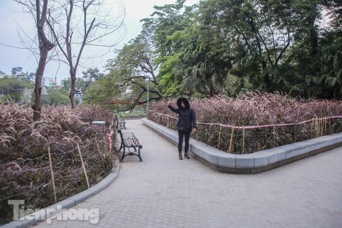 Ngất lịm trước cỏ lau màu tím bên bờ hồ Hoàn Kiếm - ảnh 1