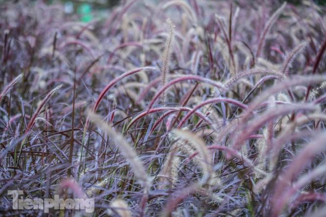 Ngất lịm trước cỏ lau màu tím bên bờ hồ Hoàn Kiếm - ảnh 2