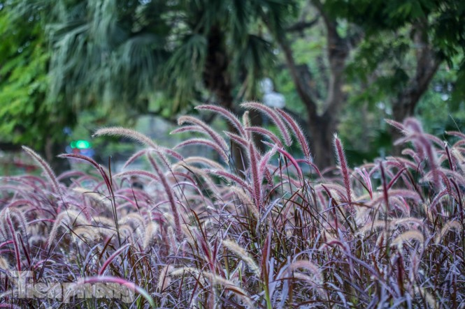 Ngất lịm trước cỏ lau màu tím bên bờ hồ Hoàn Kiếm - ảnh 4