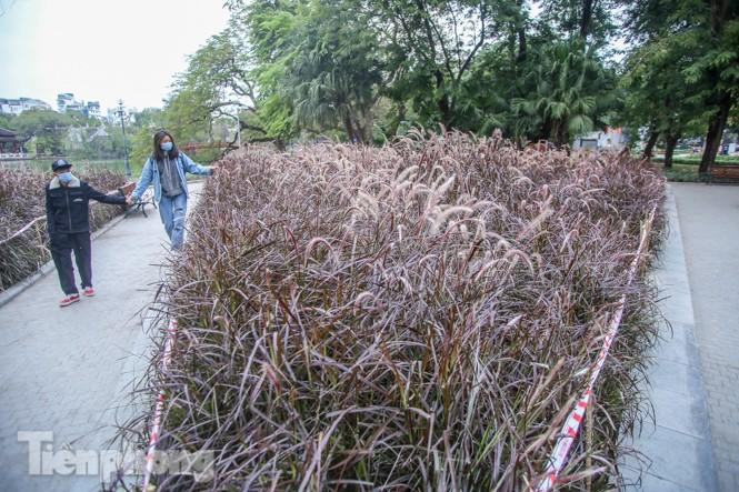 Ngất lịm trước cỏ lau màu tím bên bờ hồ Hoàn Kiếm - ảnh 5